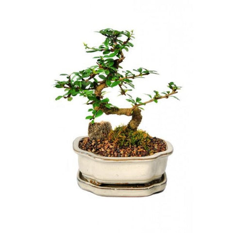 Styled Fukien Tea Bonsai Medium