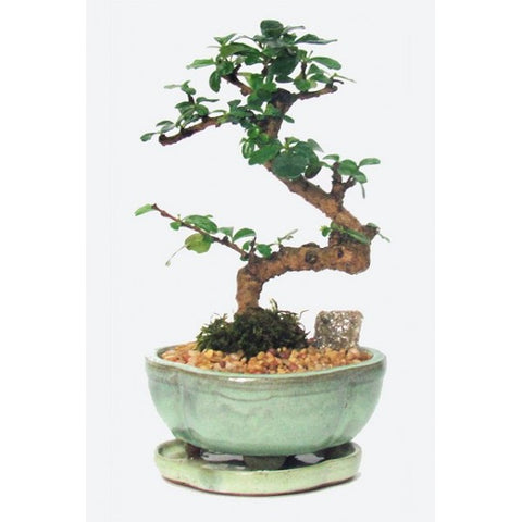 Styled Fukien Tea Bonsai Small