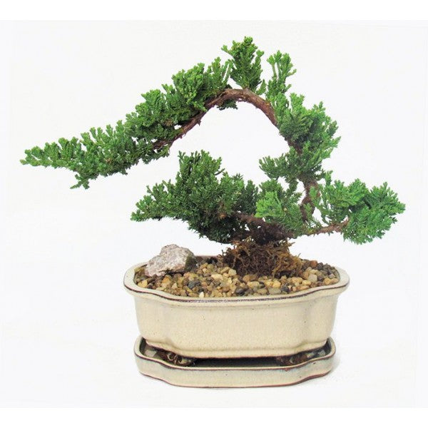 Juniper Bonsai Cascade Small