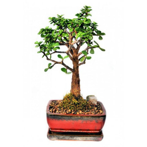 Mini Jade Bonsai Small