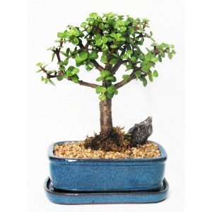 "MINI JADE MEDIUM 7"" BONSAI"