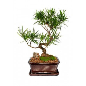 "PODOCARPUS  EXTRA LARGE BUDDHIST PINE BONSAI 10"" POT- Out of stock"