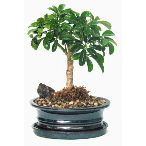 Schefflera Bonsai Medium