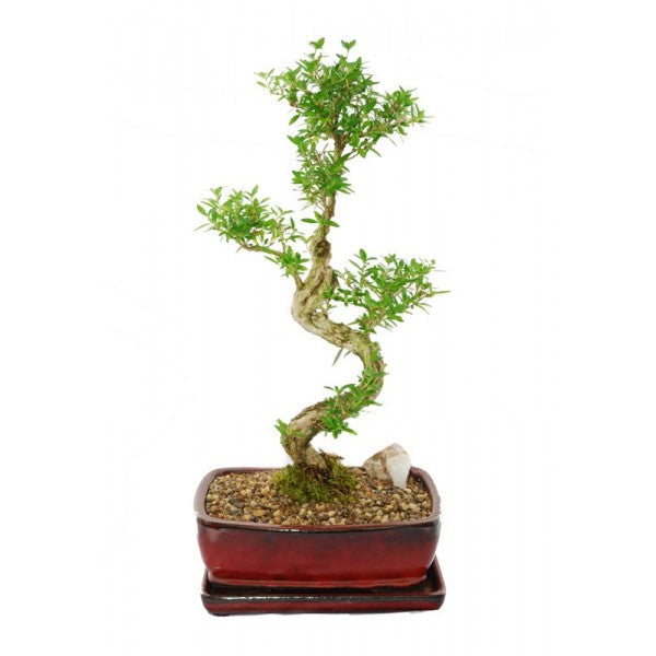 Snow Rose Serissa Styled Bonsai Large