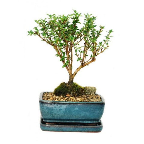Snow Rose Serissa Variegated Bonsai Small- Temporarily Out of Stock