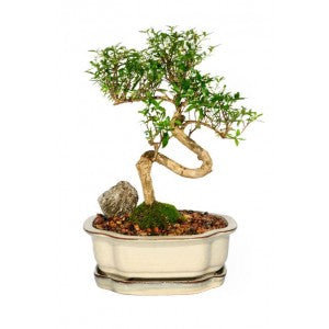 "SERISSA SNOWROSE MEDIUM SERISSA BONSAI  7"" POT-  Out of stock"