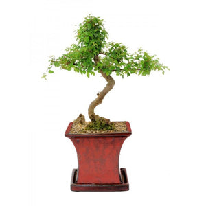 Sweet Plum Sageretia Theezans Styled Cascade Bonsai Large