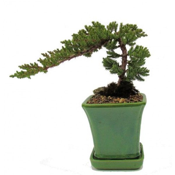 Juniper Bonsai Specimen Small