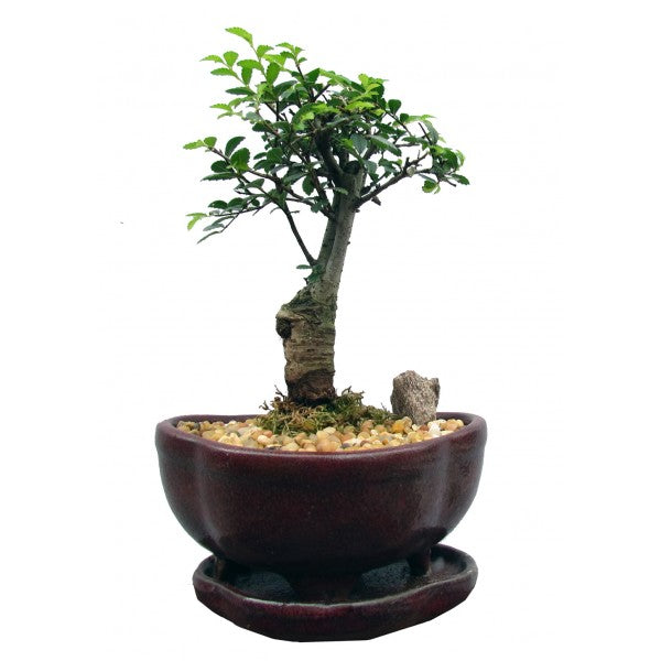 Chinese Elm Bonsai Small- Sorry - out of stock