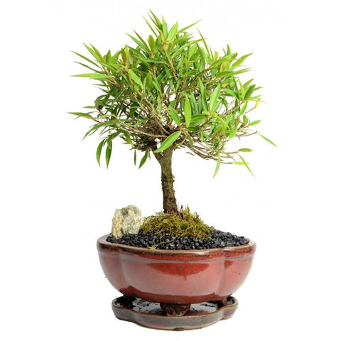 Ficus Nerifolia Bonsai Small