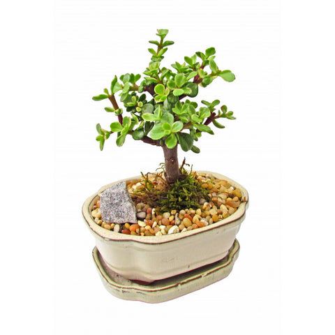 Mini Jade Bonsai Variegated Small