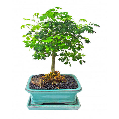 Brazilian Rainforest Bonsai Medium OUT OF STOCK