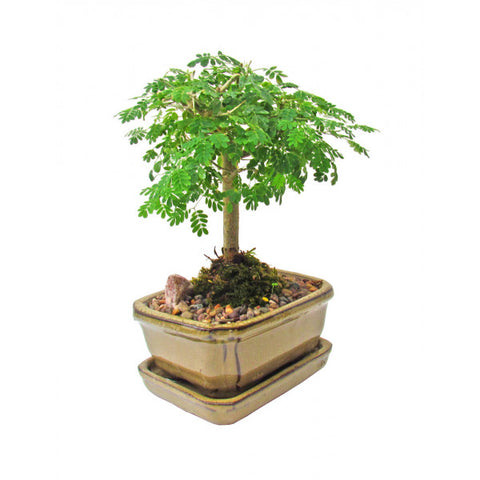 Brazilian Rainforest Bonsai Small- OUT OF STOCK