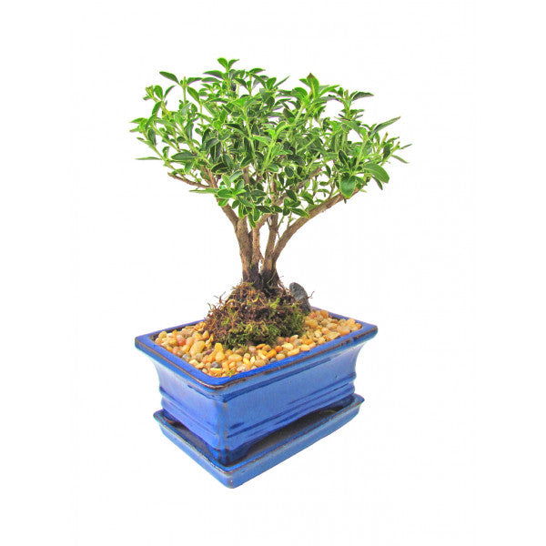 Snow Rose Serissa Variegated with Exposed Roots Bonsai Small- OUT OF STOCK