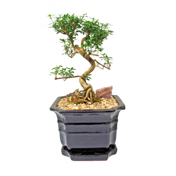 Snow Rose Serissa Styled Cascade Bonsai Large- Variegated