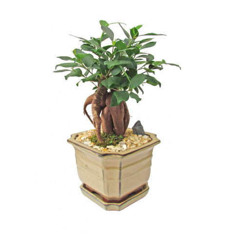 Ginseng Ficus Bonsai Large