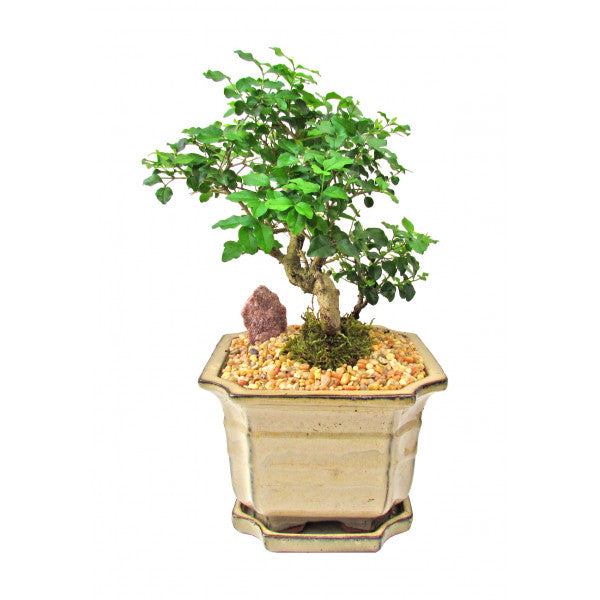 Privet Ligustrum Lucidum Cascade Styled Bonsai