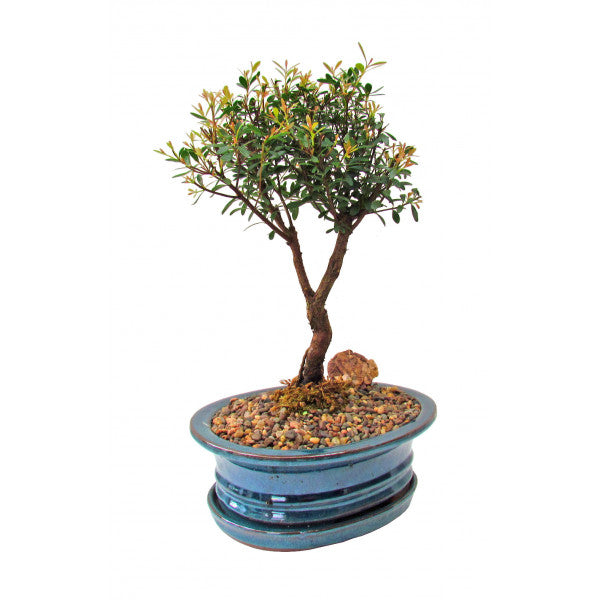 Box-Leaf Buxifolia Eugenia Bonsai Large