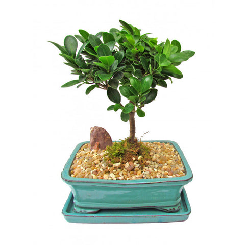 Ficus Green Island Bonsai Medium