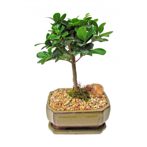Ficus Green Island Bonsai Small
