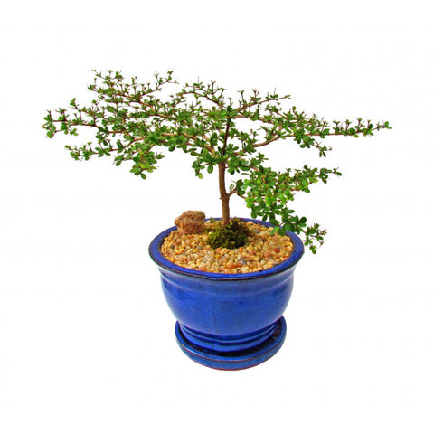 Black Olive Bucida Spinosa Cascade Bonsai Large