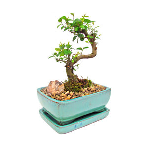 Sweet Plum Sageretia Theezans Styled Bonsai Small- Out of stock