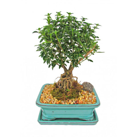 Snow Rose Serissa Variegated Bonsai Medium with Exposed Roots
