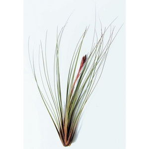 Juncea - Air Plant