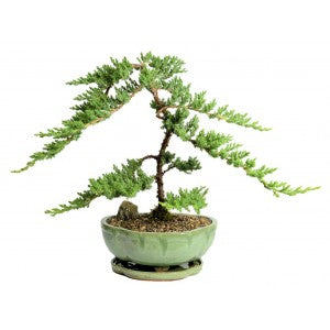 "BONSAI JUNIPER SPECIMEN In a 10"" Pot Extra Large- OUT OF STOCK"