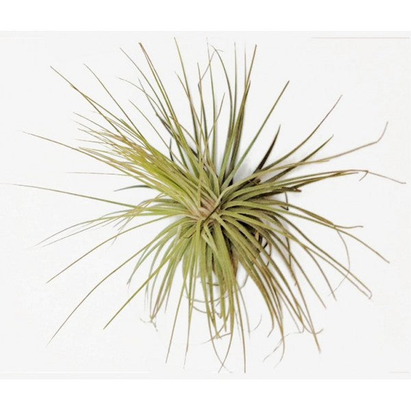 Juncofilia Air Plant