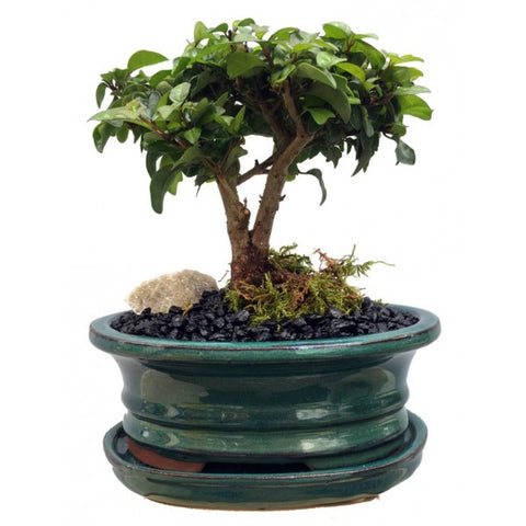 Parrot's Beak Gmelina Philippensis Bonsai Medium- OUT OF STOCK