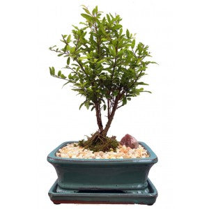 BONSAI POMEGRANATE 7""