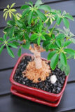 Schefflera Bonsai Small