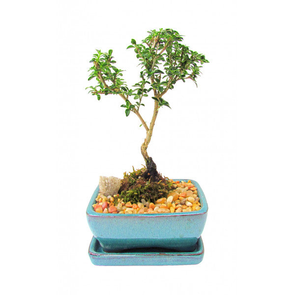 Create Your Own Bonsai- Serissa