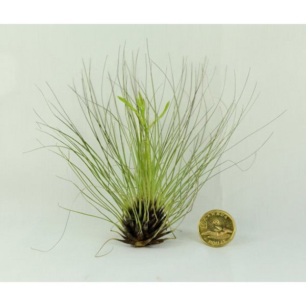 Air Plant Tillandsia Filifolia