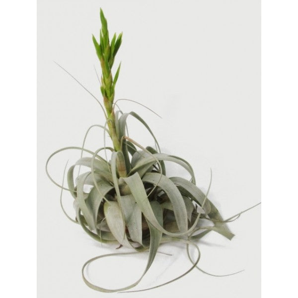 Xerographica Giant (King of Air Plants)
