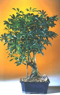 Hawaiian Umbrella Bonsai Tree - Medium(Arboricola Schefflera 'Luseanne')