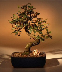 Chinese Elm Bonsai Tree - MediumCurved Trunk Style(Ulmus Parvifolia)