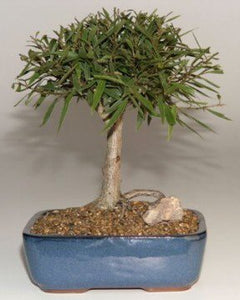 Willow Leaf Ficus Bonsai Tree-Medium <br><i>(Ficus Nerifolia/Salisafolia)</i>