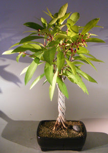 Flowering Ardisia Bonsai Tree<br><i>Braided Trunk<br><i>(Ardisia Crenata)</i>