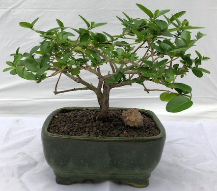 Flowering Premna Bonsai Tree - Small<br><i>(premna obtusifolia)</i>