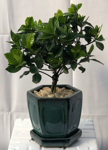 Flowering Gardenia Bonsai Tree - Medium <br>Braided Trunk Style <br><i>(jasminoides miami supreme)</i>
