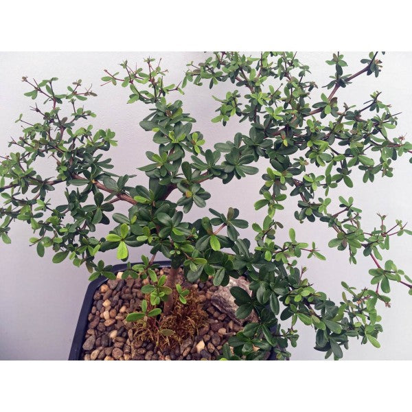 "Black Olive Bucida Spinosa Bonsai Extra-Large 10""- Out of Stock"