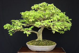 Brazilian Rainforest Bonsai Small-