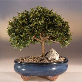 Brush Cherry Eugenia Myrtifolia Bonsai Small