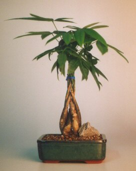 Braided Money Bonsai Tree - 'Good Luck Tree'<br>Medium<br><i>(pachira aquatica)</i>