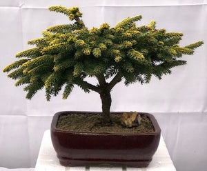 Oriental Spruce Bonsai Tree <br><i>(picea orientalis 'Tom Thumb')
