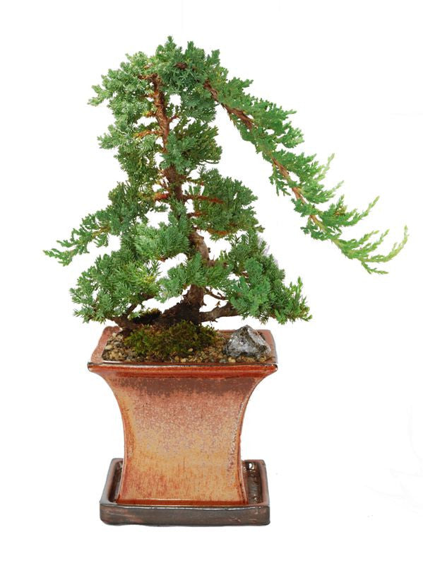 Juniper Procumbens nana 10 years old 18 inches high