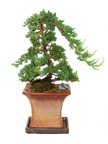 Juniper Bonsai Tree 10 Years old
