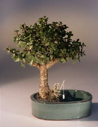 Baby Jade Bonsai Tree <br>Land/Water Pot - Medium <br><i>(Portulacaria Afra)</i>